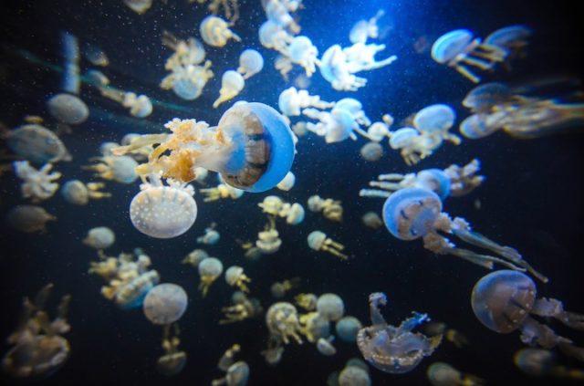 wild-underwater-biology-asia-jellyfish-fish-1165098-pxhere.com